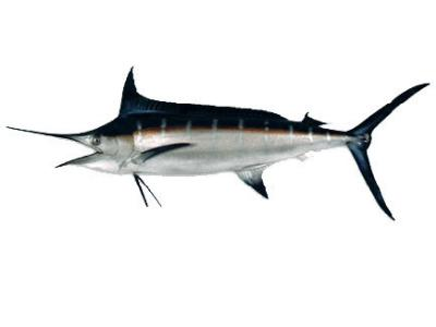 Blue Marlin  Fish Replica 8 Feet OAL